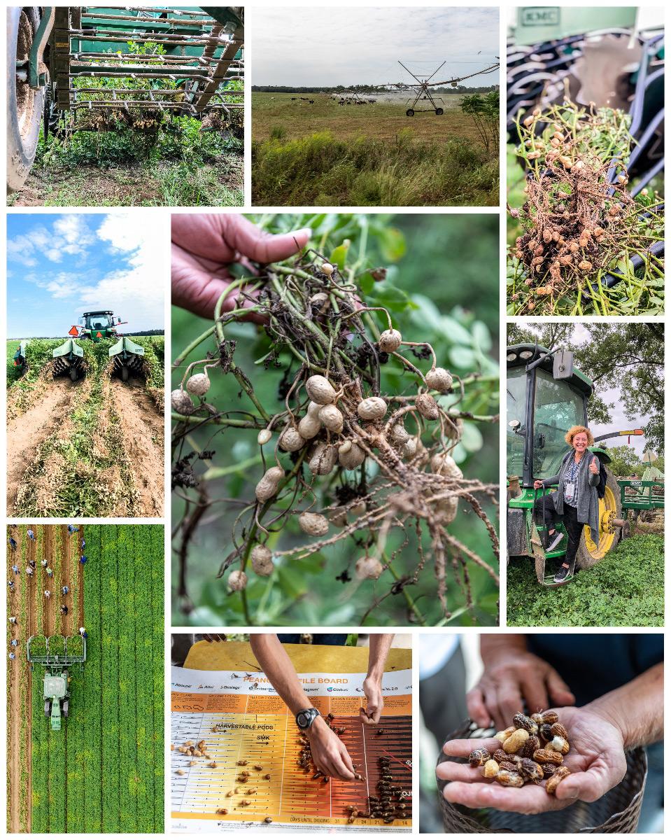 Erdnuss-Reise Georgia   auf dem Erdnussfeld