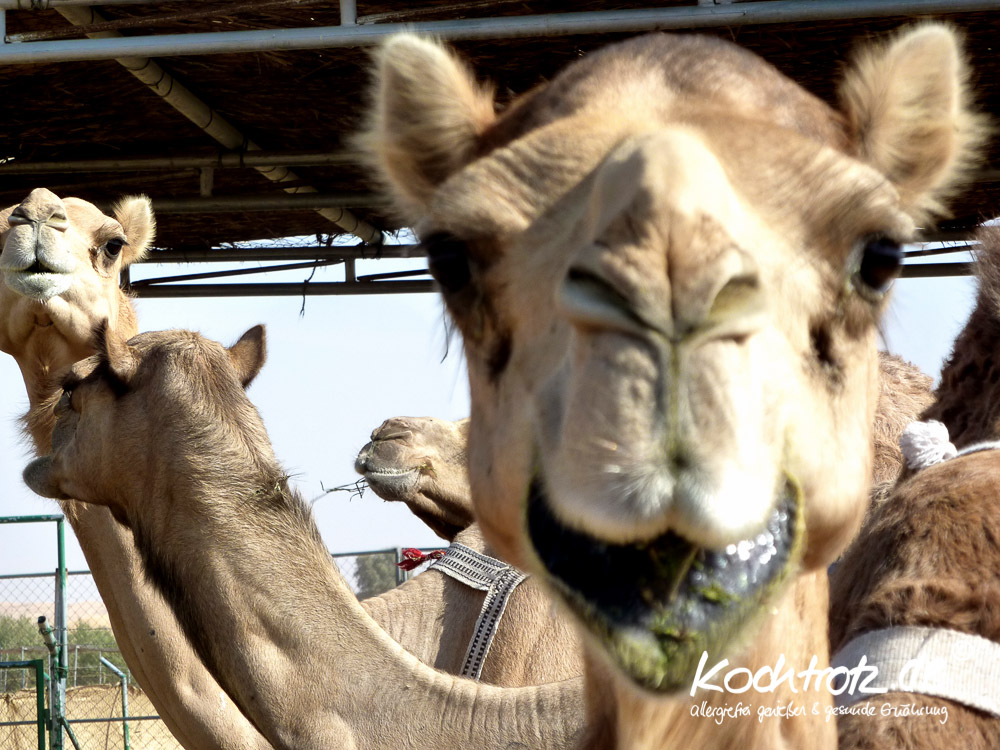 Kamele in der Wüste, Dubai