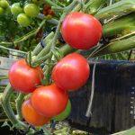 Warenkunde Tomate